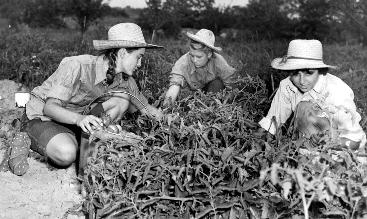 Girl Scout Farm Aides pick tomatoes, circa 1942